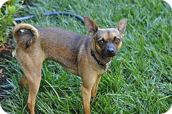 Miniature Pinscher/Chihuahua Mix Dog for adoption in Studio City, California - Dot