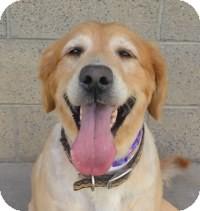 Golden Retriever Mix Dog for adoption in Scottsdale, Arizona - Mandie