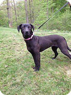 Labrador Retriever Mix Dog for adoption in Morgantown, West Virginia - Charlotte