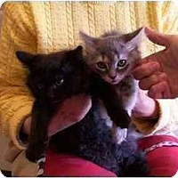 Domestic Mediumhair Cat for adoption in LosAngeles, California - Kittens