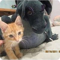 Adopt A Pet :: Cheetoh - Sterling Hgts, MI