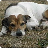 Adopt A Pet :: Scrappy - Albany, NY