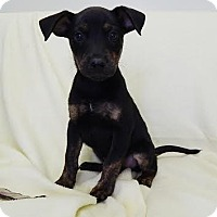 Adopt A Pet :: Penny (POM-EC) - Brattleboro, VT