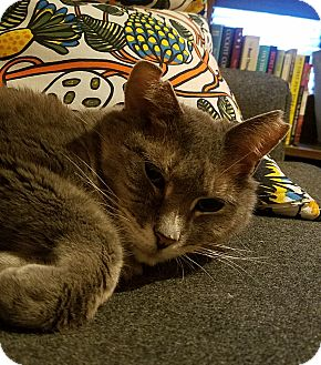 Domestic Shorthair Cat for adoption in New York, New York - Jackie