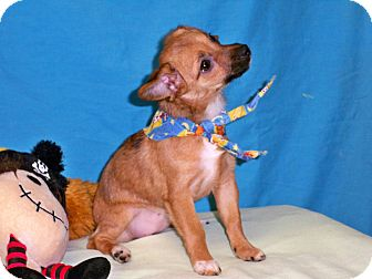 Chihuahua/Yorkie, Yorkshire Terrier Mix Puppy for adoption in Poteau, Oklahoma - CICI