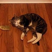 Domestic Shorthair Cat for adoption in Philadelphia, Pennsylvania - Tonks