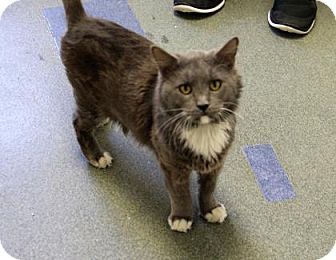 Domestic Mediumhair Cat for adoption in Greensboro, North Carolina - Sergeant