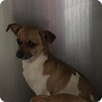 Adopt A Pet :: Zues - Jupiter, FL