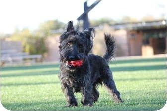 Scottie, Scottish Terrier/Yorkie, Yorkshire Terrier Mix Dog for adoption in Scottsdale, Arizona - Buddy