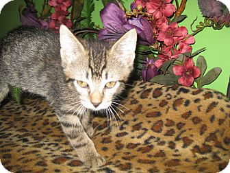 Domestic Shorthair Kitten for adoption in Clearfield, Utah - Wellington