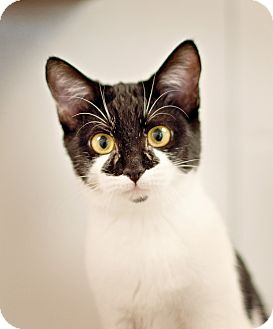 Domestic Shorthair Kitten for adoption in Carencro, Louisiana - Jolie