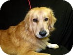 Golden Retriever Mix Dog for adoption in Manchester, Connecticut - LEO  in ct