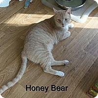 Adopt A Pet :: Honey Bear - Catasauqua, PA