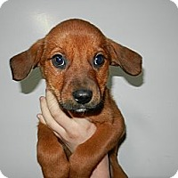 Adopt A Pet :: Daisy - South Jersey, NJ