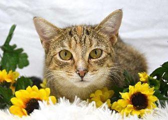 Domestic Mediumhair Cat for adoption in St. Cloud, Florida - Bunny