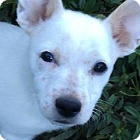Adopt A Pet :: Gibson - La Costa, CA