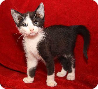 Domestic Shorthair Kitten for adoption in Marietta, Ohio - Sylvester (Neutered)