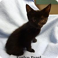 Adopt A Pet :: Evelyn Pearl - Bentonville, AR