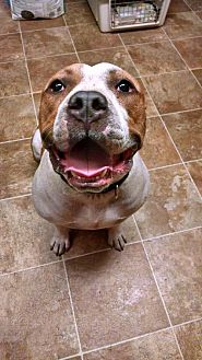 American Bulldog/Pit Bull Terrier Mix Dog for adoption in Crestline, California - Todd