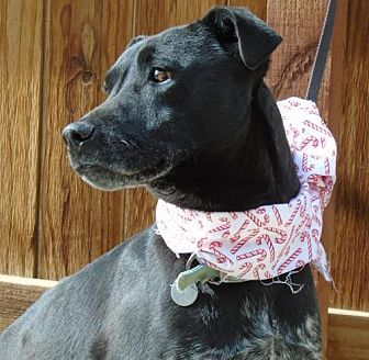 Labrador Retriever/Terrier (Unknown Type, Medium) Mix Dog for adoption in Apple Valley, California - Crystal