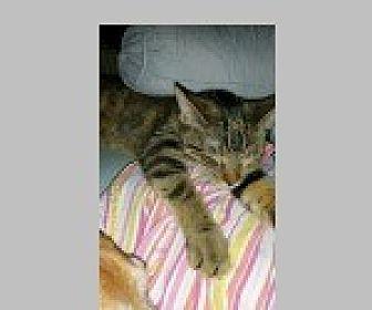 Domestic Shorthair Cat for adoption in Pittsboro, North Carolina - Mabel