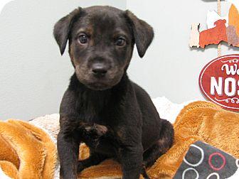Labrador Retriever Mix Puppy for adoption in Groton, Massachusetts - Jerry