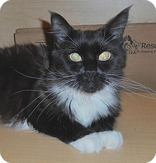 Domestic Mediumhair Cat for adoption in Chattanooga, Tennessee - Bellina