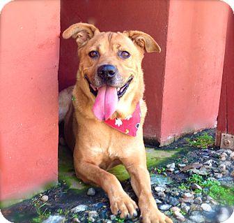 Golden Retriever/Shepherd (Unknown Type) Mix Dog for adoption in Van Nuys, California - *URGENT*Chester