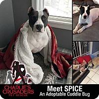 Adopt A Pet :: Spice - Spring City, PA