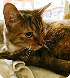 Bengal Cat for adoption in Lake Elsinore, California - Gabrielle