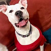 American Bulldog/American Pit Bull Terrier Mix Dog for adoption in Tucson, Arizona - Sedona