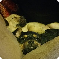 Adopt A Pet :: Spike - Salem, NH