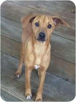 Rat Terrier/Feist Mix Dog for adoption in Kingwood, Texas - Tipper