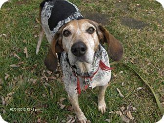 Coonhound Dog for adoption in Portland, Oregon - Sophie
