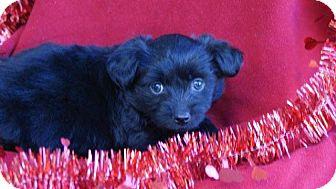 Cockapoo Mix Puppy for adoption in Torrance, California - SIMONE