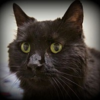 Adopt A Pet :: Black Beauty - Montclair, NJ