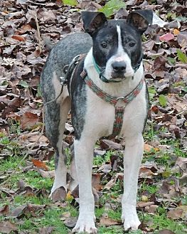 Pit Bull Terrier Dog for adoption in Brentwood, Tennessee - Barney