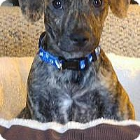 Adopt A Pet :: Collin - Marlton, NJ