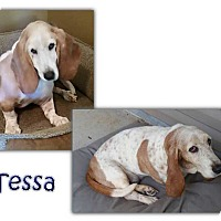 Basset Hound Dog for adoption in Marietta, Georgia - Tessa