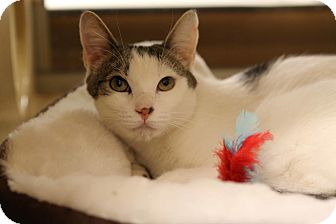 Domestic Shorthair Cat for adoption in Gainesville, Virginia - Chilli Willie
