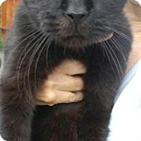 Domestic Shorthair Cat for adoption in Canal Winchester, Ohio - Rufus