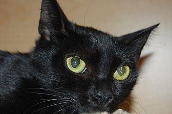 Domestic Shorthair Cat for adoption in Whittier, California - Luna