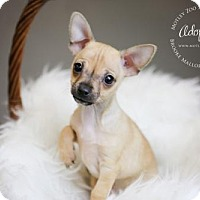 Adopt A Pet :: Phil Duckie Dale-ADOPTION PENDING! - Redmond, WA