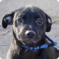 Labrador Retriever Mix Puppy for adoption in Willows, California - Aldo