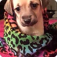 Adopt A Pet :: Teka - Boston, MA