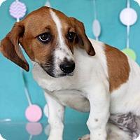 Adopt A Pet :: Calypso - Waldorf, MD