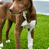 Adopt A Pet :: Toffee - Mt. Prospect, IL