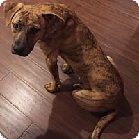 Hound (Unknown Type) Mix Dog for adoption in Natchitoches, Louisiana - Clotilde
