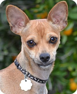 Chihuahua Mix Dog for adoption in Simi Valley, California - Taz