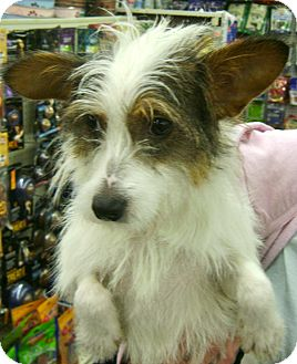 Jack Russell Terrier/Terrier (Unknown Type, Small) Mix Dog for adoption in Thousand Oaks, California - Zoey